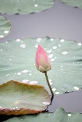 lotus pixabay PublicDomainPictures-214622_960_720